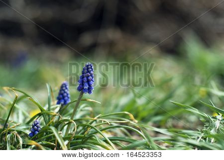 Dainty, blue grape hyacinth flowers bloom in the springtime.