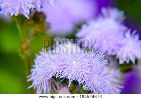 Blue Floss Flowers or Bluemink, Blueweed, Pussy Foot, Mexican Paintbrush in Innsbruck, Austria. Its scientific name is Ageratum Houstonianum, native to central America. See my other flowers