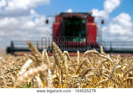 Ears of wheat against the backdrop of a combine harvester on a field in sunny summer day
