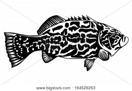 Black grouper fish isolated on white black