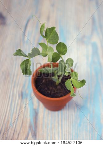 Young plant of pea seedling in small ceramic pot on wooden rustic background. Spring sprouts. Soft selective focus top view