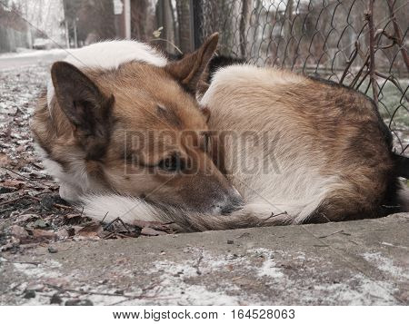 Homeless sad dog sleeping on the street. Selective soft focus