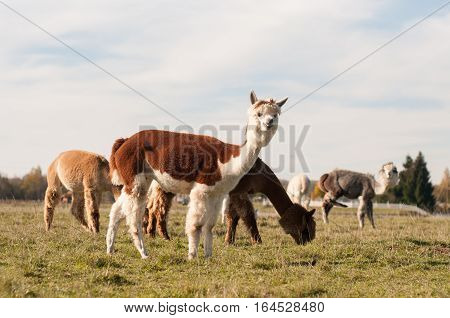 Beautiful alpacas eating grass. Animals in the zoo.