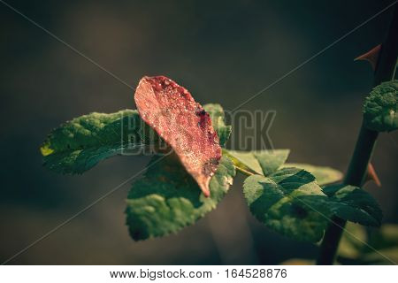 Dewy Autumn Leaf On Rose Branch