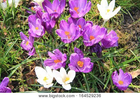 Purple and white crocuses in early spring sunlight