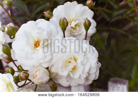 white rose at fence background at summe garden