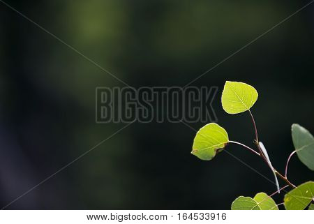Young aspen leaves glow green against a dark background.