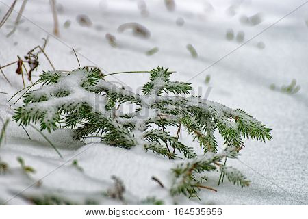 A small Pine tree branch in the snow