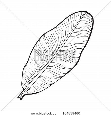 Full fresh leaf of banana palm tree, sketch style vector illustration isolated on white background. Realistic hand drawing of banana, palm tree leaf, jungle forest design element