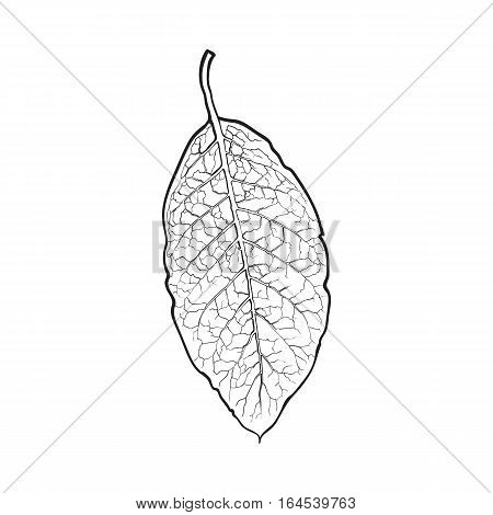 Hand drawn dry tobacco leaf, sketch vector illustration isolated on white background. Realistic hand-drawing of dry tobacco leaf, raw material for cigarettes, cigars production