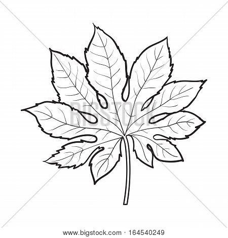 Full fresh leaf of fatsia japonica palm tree, sketch style vector illustration isolated on white background. Realistic hand drawing of fatsia japonica palm tree leaf, jungle forest design element