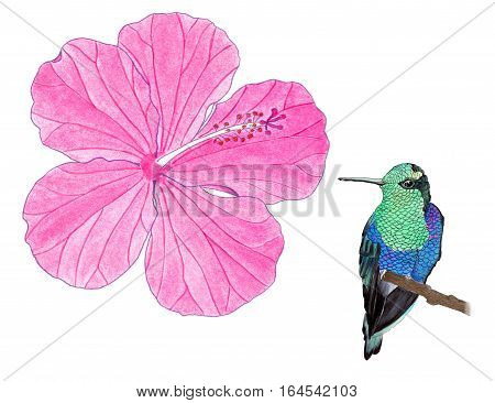 Hummingbird. Hand-drawn tropical bird - colibri and hibiscus on the white background. Real watercolor illustration