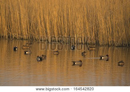 Eurasian Wigeon (Anas penelope) group resting alongside Reed in a Lake