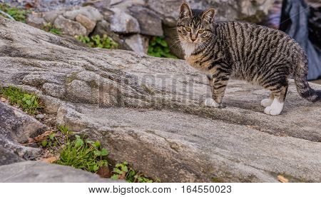 Black and white tabby cat standing on a large bolder
