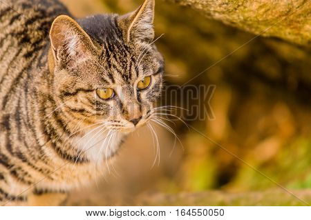 Closeup of a black and white tabby cat with a soft blurred background