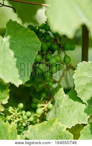 Young inflorescence of grapes on the vine close-up. Grape vine with young leaves and fruit blooming on a grape vine in the vineyard. Spring buds sprouting.Sprout of Vitis vinifera, grape vine