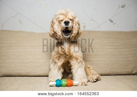 Young American cocker spaniel lying on a beige sofa. Interior living room. Dog yawns.