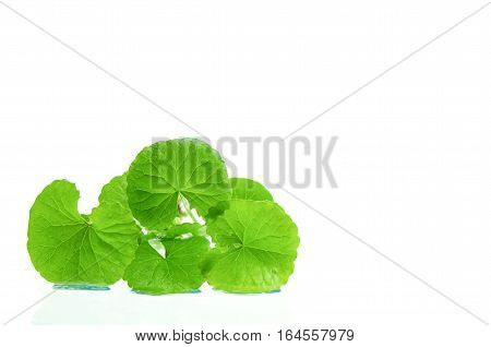 Indian Pennywort Brain Tonic Herbal Plant.