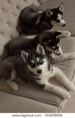Blue Eyed Beautiful Husky Puppies
