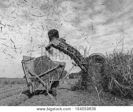 Sugarcane farmers harvesting cane in black and white