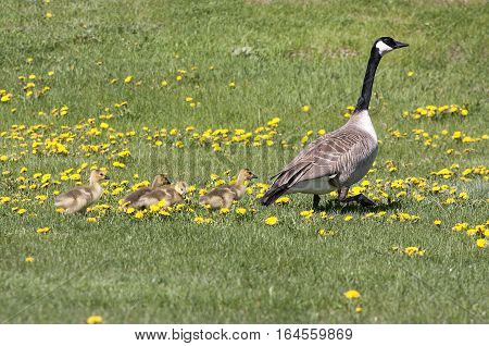 A Canada goose leads goslings through a field of Dandelions.