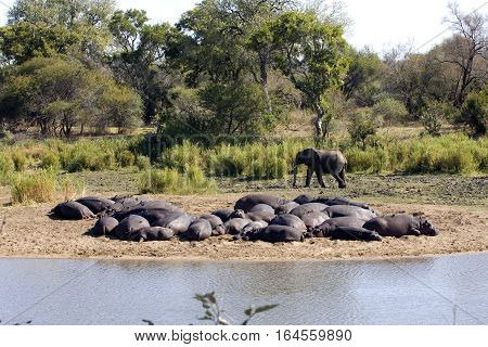 An elephant strolls by a sleeping herd of hippopotamus