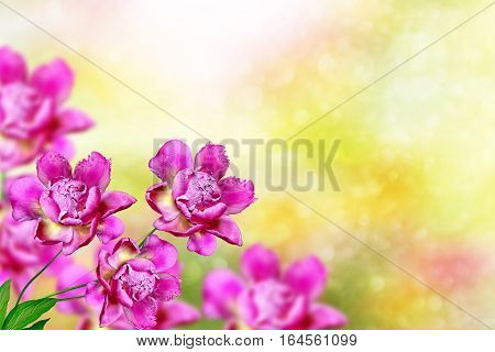 Bright colorful flowers peonies on the background of the summer landscape.