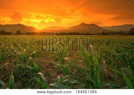 young green corn field in agricultural garden and light shines sunset