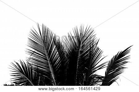Abstract white and black coconut leaf on white background.