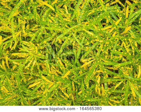 Codiaeum variegatum tree or Croton plant with colorful leaves yellow and green leaves texture background