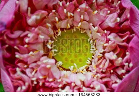 Closeup pink lotus bud in the pond