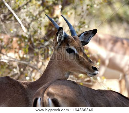 An alert Impala Buck stands guard with his herd.