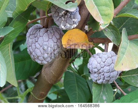 purple custard apple fruit in the tropical plantation