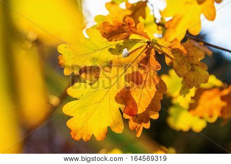 Autumnal Oak Leaves Glowing In Sunlight