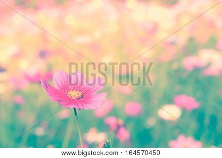 Cosmos flower. Retro vintage filter effect. Nature Background.