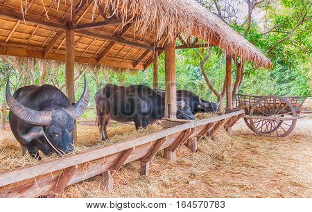 wooden buffalo stable farming in countryside for agriculture