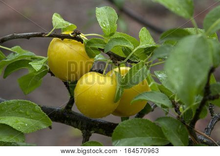 Luscious yellow plums are ready to eat