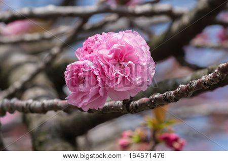 Cherry blossoms or sakura at Japan Mint.