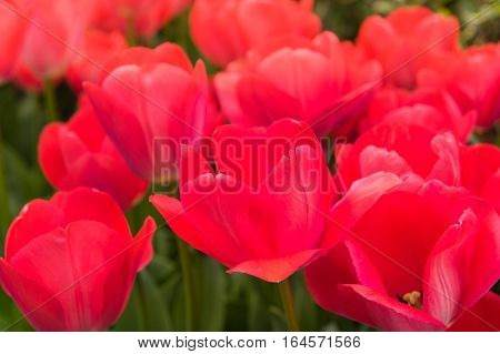 Close up flowers background. Beautiful red tulib in the garden.