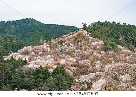 Cherry blossom on Yoshinoyama Nara Japan spring landscape.