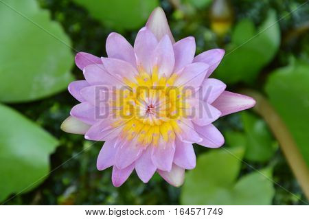 lotus lily water flower blooming in the garden