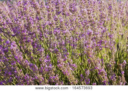 A field of blooming lavender flowers. Selective focus and copyspace