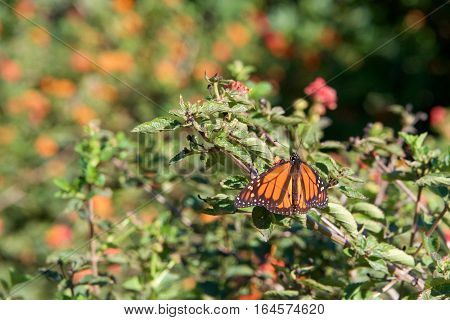 one Monarch Butterfly drinking nectar from orange lantana flowers on a sunny day