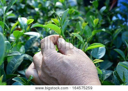 picking tip of green tea leaf by human hand on tea plantation hill during early morning. Harvest of Indian tea. Top leafs of the bush. Darjeeling Himalaya.