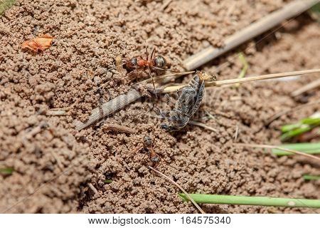 ants carrying a dead beetle to anthill