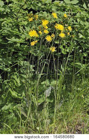 Spotted Hawkweed - Hieracium maculatum Yellow Wild Flower