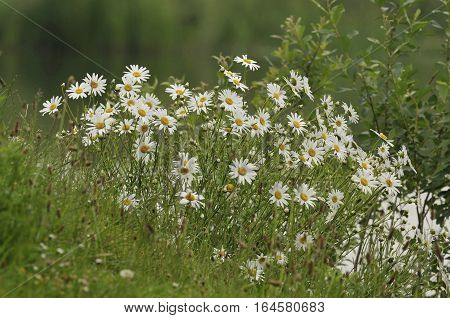 Ox Eye Daisies - Leucanthemum vulgare by lake