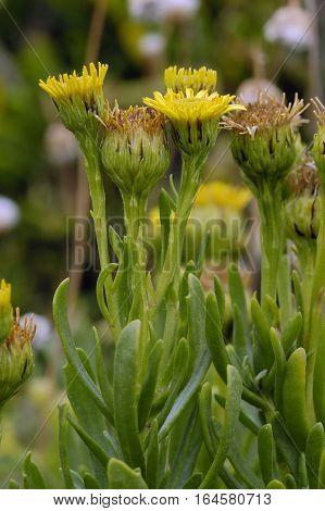 Golden Samphire - Inula crithmoides Yellow Coastal Composite Flower