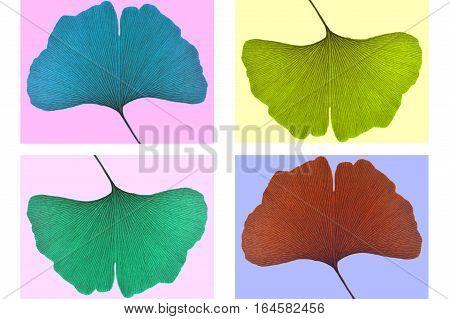 Ginkgo leaf, Ginkgo biloba, on colorful background