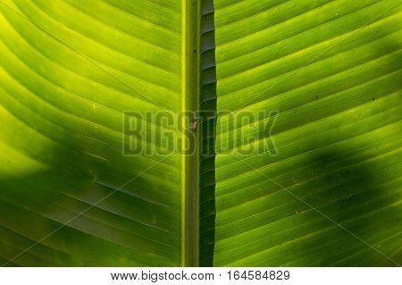 Middle of the Palm leaf as the texture background